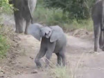 This video shows a young elephant calf charging a vehicle at Mfuwe Lodge.