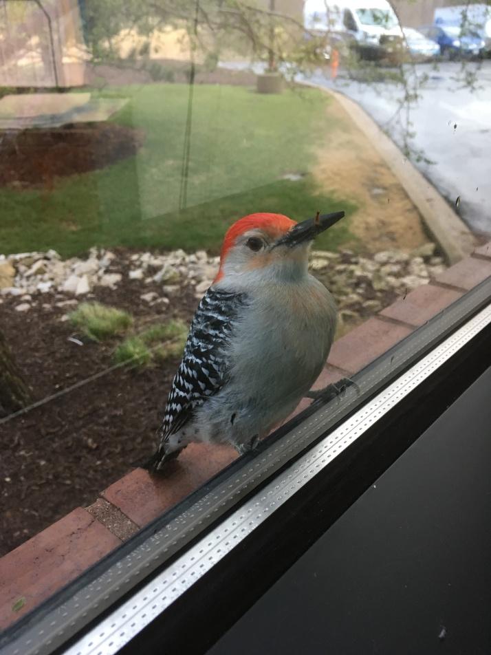 Woodpecker 5-4-18.jpg-1
